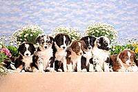 seven Australian Shepherd puppies sitting in front of flowers