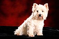 West Highland White Terrier _ sitting