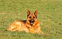 German Shepherd dog lying on meadow