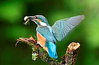 common kingfisher with fish _ flying / Alcedo atthis