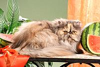 Persian cat _ lying next to melon