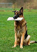 German Shepherd dog with newspaper in muzzle
