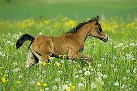 Arabian horse _ foal on meadow