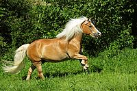 haflinger _ trotting on meadow