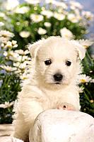 Westhighland White Terrier _ puppy sitting