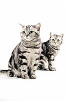 two british shorthair _ sitting