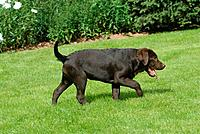 Labrador Retriever _ puppy walking on meadow
