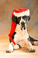 Christmas: Great Dane with Santa Claus cap