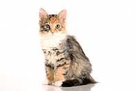 Siberian forest cat _ kitten sitting _ cut out