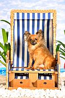 Toy Terrier _ sitting in beach chair