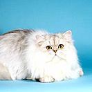 persian cat _ lying
