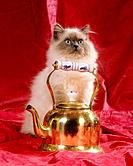 persian cat colourpoint _ sitting