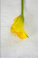 A yellow calla lily