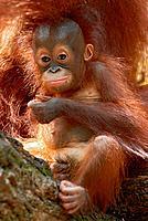 Borneo Orang_utan, young, Pongo pygmaeus pygmaeus