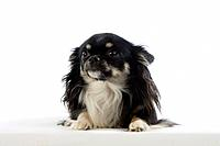 Chihuahua, longhaired