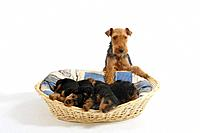Welsh Terrier, bitch with puppies, 7 weeks, in basket