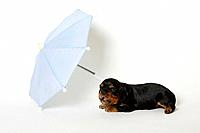 Cavalier King Charles Spaniel, puppy, black_and_tan, 17 days, umbrella