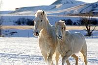 Beautiful white horses galloping through the snowy ranges in Shell, Wyoming, Usa