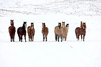 Herd of horses in winter, Shell, Wyoming, Usa