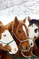 horse portraits in winter, Shell, Wyoming, Usa