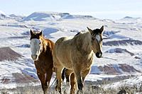 A couple of beautiful white horses galloping through the snow in Shell, Wyoming, Usa