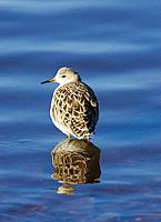 Ruff, Philomachus pugnax, female standing in blue water