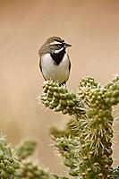 Black-throated Sparrow (Anphispiza bilineata) - Arizona - USA - Perched on cholla cactus - Also known as the 'Desert Sparrow' in the Southwest - Live ...