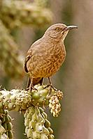 Curve-billed Thrasher (Toxostoma curvirostre) - Arizona - Perched on cholla cactus -  The most  common desert thrasher - Resident southwest U.S   to s...