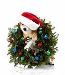 Shiba Inu dog wearing Santa hat sitting in Christmas wreath
