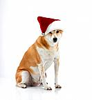 Studio shot of Shiba Inu dog wearing Santa hat
