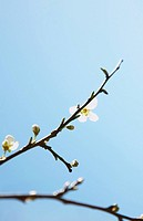 Cherry blossom on branch, close up