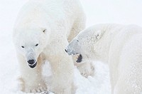 Canada, Manitoba, Churchill, two Polar Bears sparring, close up
