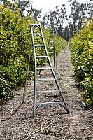 Lemon orchard with ladders