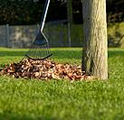 Raked leaves with rake by tree