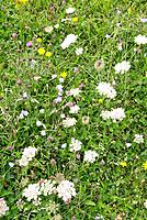 Machair wildflowers. Machair is a rare type of dune pasture that subject to cultivation. It is unique to north west Britain and Ireland, having develo...