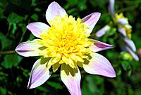 Dahlia flower Dahlia ´Ryecroft Marge´.