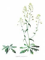 Shepherd´s Purse. Illustration of the Shepherd´s Purse plant, Capsella bursa_pastoris. The plant is seen with flowering parts at right and without. Th...