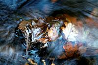 Fallen leaves in a river. This is the River Barle, in Hawkridge, Exmoor National Park, UK.