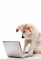 Dog looking at laptop