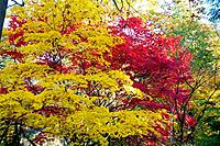 Autumn foliage. Japanese maple trees Acer palmatum, red and yellow amongst native tree species including oak, beech and birch right. Photographed at t...