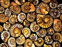 Goniatite fossils. The goniatites were primitive ammonites extinct cephlapod molluscs that flourished during the Devonian, Carboniferous and Permian p...