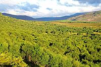 Ancient birch woodland. Downy birch trees Betula pubescens at Morrone Birkwood in Cairngorms National Park, Scotland, UK. This woodland is a Special A...