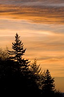 Silhouette of pine trees at sunset