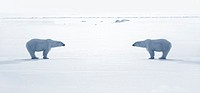 Two polar bears face to face in ice field Digital Composite