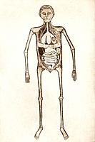 Internal anatomy, 14th century artwork. The skeleton and the internal organs of the torso are shown. Artwork from Anathomia 1345, by the Italian anato...