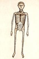 Internal anatomy, 14th century artwork. The skeleton, the rib cage, and the internal organs of the abdomen are shown. Artwork from Anathomia 1345, by ...