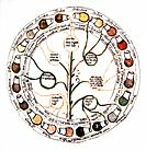 Medieval urine wheel. Labelled in Latin, this 15th century diagram shows some of the possible colours of urine outer edge of circle to help doctors di...