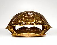 Turtle shell, studio shot
