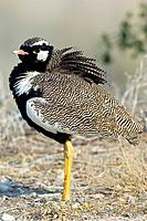 Northern black korhaan, or white_quilled Bustard, Eupodotis afraoides. This bird is found in Angola, Botswana, Lesotho, Namibia, and South Africa. It ...