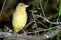 Female village weaver Ploceus cucullatus perched on a branch. Photographed at De Hoop Nature Reserve, South Africa.